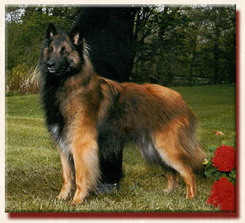 Am Group Placing CH & Can CH Timberwind's Star Chaser CD, PT, AX, AXJ, TT, TDI, CGC,